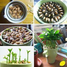 Germinar semillas de limón y disfrutar de su aroma en tu escritorio.    Paso 1: Germinar las semillas de limón.  Paso 2: Ponerlas en un recipiente con tierra.  Paso 3: Cubrir con piedritas.  Paso 4: Regarlo periódicamente. #huertaenmacetas