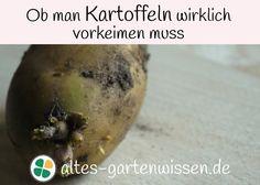 Die feinen Triebe der Kartoffeln dürfen nicht verletzt werden. #Garten #Nutzgarten #Kartoffeln #Kartoffelanbau