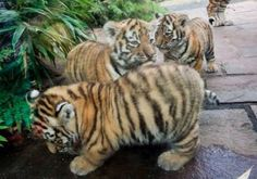 Fat, cute baby tigers!