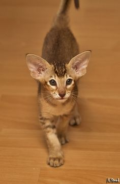 Cat Facts: 5 Amazing Facts About Your Cat's Ears – cat breeds Pretty Cats, Beautiful Cats, Animals Beautiful, Cute Animals, Oriental Shorthair Kittens, Werewolf Cat, Kitten Breeds, Oriental Cat, Matou