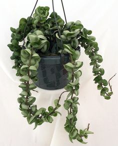 The Hindu Rope Plant is an exotic house plant native to the far east. It is rather easy to grow and can reach lengths of over 8 feet! The plant is