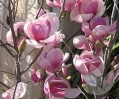 Magnolia x soulangeana - Saucer magnolia, Tulip Magnolia – Trees - Speciality Trees Landscaping Melbourne, Landscaping Trees, Front Yard Landscaping, Magnolia Soulangeana, Magnolia Trees, How To Attract Birds, Winter Springs, Small Trees, Green Life
