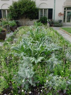 Edible Landscaping: Kitchen Garden - Artichokes   jardin potager   bauerngarten   köksträdgård