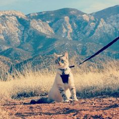 Pikachu, the travelling cat, in New Mexico. He's got a tumblr! thetravellingkitty