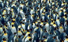 This set of photographs show that some animals take no chances when it comes to safety in numbers King penguins huddle together on South Georgia. Over 100,000 breeding pairs can be found nesting at the site