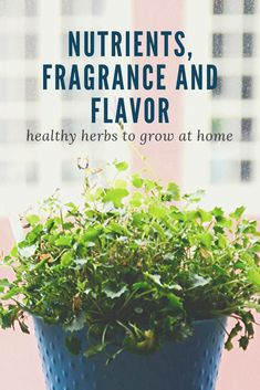 Have you ever wanted to grow your own herbs but didn't know where to start? Try a kitchen herb garden. Its small scale and you can grow exactly what you need! Herb Garden In Kitchen, Kitchen Herbs, Herbs Garden, Indoor Garden, Indoor Plants, Drying Mint Leaves, Culture D'herbes, Growing Herbs Indoors, Natural Pesticides