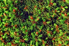 Juniper Photograph - The Leaves And The Bumps Juniper by Sergey Nosov #SergeyNosov #Photography #ArtForHome #FineArtPrints #InteriorDesign #Juniper