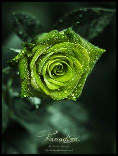 Apple green roses