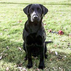 Lost Dog - Labrador Retriever - Oak Harbor, OH, United States 43449