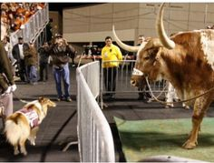 Bevo and Reveille