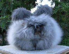 Blue Angora Rabbit