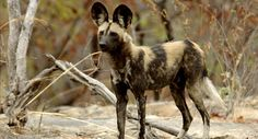 African Wild Dog (Lycaon pictus) African Wild Dogs are pack predators found across Africa, though mainly in the southern regions. Their range used to include North and West Africa, but they have been...