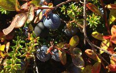 Crowberry and Blueberry duet Arctic, Eggplant, Blueberry, Fruit, Vegetables, Food, Berry, Vegetable Recipes, Eten