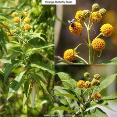Orange Butterfly Bush Buddleja globosa Type: Evergreen or Semi-Evergreen Shrub Exposure: Full Sun / Light Shade Water: Regular Buddlejas (pronounced BUD-lee-ahs) are a group of upright growing vase shaped shrubs known for their ability to attract butterflies and bees. In fact the cover photo for Plant-a-Days facebook page features a butterfly parked on a big purple buddleja blossom. Todays plant shares the same open upright habit but features very different flowers. With the Orange Butterfly…