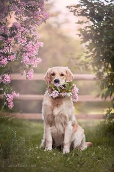 golden retriever                                                                                                                                                                                 More #GoldenRetriever