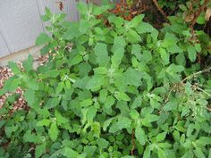 goosefoot or lambsquarters wild edible plants