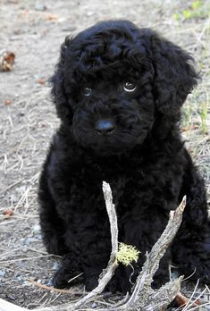 Black mini Australian Labradoodle Puppy for sale Black Labradoodle Puppy, Labradoodle Puppies For Sale, Mini Goldendoodle, Cute Dogs And Puppies, Miniature Australian Labradoodle, Black Puppy, Doodle Dog, Mixed Breed, Mans Best Friend
