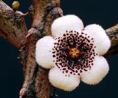 Stapelianthus arenarius    A miniature succulent found in Madagascar.