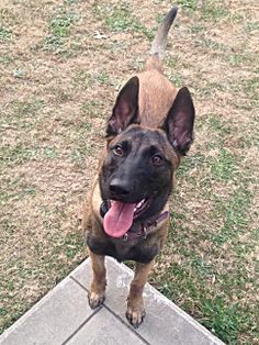 1000 Images About Our Little Belgian Malinois Savvy And
