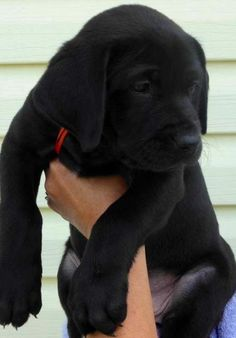 Mind Blowing Facts About Labrador Retrievers And Ideas. Amazing Facts About Labrador Retrievers And Ideas. Black Lab Puppies, Cute Puppies, Cute Dogs, Dogs And Puppies, Doggies, Black Labs Dogs, Black Puppy, Labrador Retrievers, Black Labrador Retriever