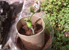 Cómo hacer semilleros con rollos de cartón.