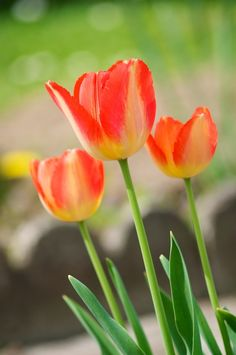 Tulipes by Amandine Dolet-Fayet #tulipas #tulipes