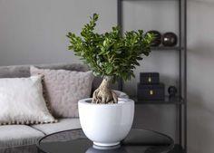Ficus Ginseng med sin stilige bonsai-fasong. Ficus Ginseng, Indoor Green Plants, Bonsai, Planter Pots, Nye, String Garden