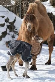 Image result for baby camel