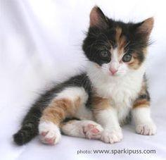 Calico kitten! Absolutely Beautiful!!!