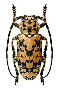 Beetle Insect, Beetle Bug, Insect Art, Weird Insects, Bugs And Insects, Reptiles, Insect Orders, Longhorn Beetle, Instalation Art