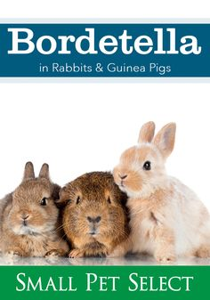 Bordetella in rabbits and guinea pigs can quickly spread from one pet to another. Learn how to prevent it and how to treat it. Upper Respiratory Infection, Animal Medicine, Pet Rabbit, Happy Animals, Pet Health, Exotic Pets, Guinea Pigs, Rabbits, Pet Care