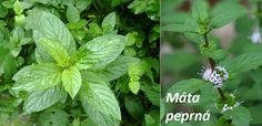 Shared by peppermint herb Natural Medicine, Herbal Medicine, Peppermint Herb, How To Relieve Headaches, Abdominal Pain, Mint Tea, Natural Treatments, Herbalism, Plant Leaves