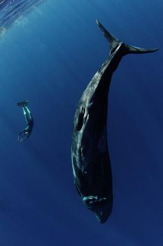 Synchronized swimming with whale Under The Water, Under The Sea, Amazing Animals, Animals Beautiful, Animal Original, Fauna Marina, Synchronized Swimming, Delphine, Whales