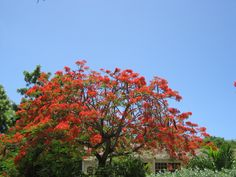 Red Flamboyant Tree by: Angela V.