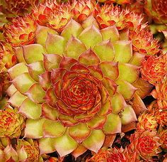 Sempervivum bronco love this bronze to yellow color. Succulent Gardening, Succulent Terrarium, Planting Succulents, Planting Flowers, Succulent Plants, Sempervivum, Echeveria, Cool Plants, Air Plants