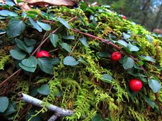 """Sam Calhoun on Instagram: """"The rich greens of moss and partridgeberry place nicely against the bright red berries.  Even in winter the forest is alive with color.…"""""""