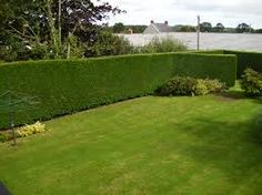 hedges - Google Search