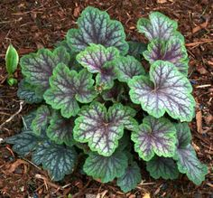 Heuchera Green Spice for partial shade or full shade.