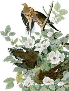 John James Audubon, Mourning dove, Zenaida macroura (~1827-1838)