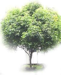 Pohon peneduh yang perlu untuk ditanam di halaman rumah agar udara tetap sejuk dan segar.