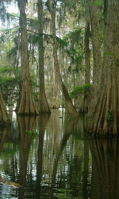 Cypress Tree Forest - Lake Martin, Cypress Island Nature Preserve, Louisiana