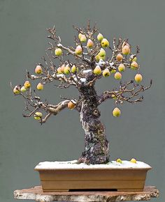 Crab Apple: Malus Halliana, 65 cm High. More than 50 Years Old. No leaves... Just Incredible!!