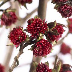 Trees that do tricks 4. Parottia persica. Pale grey bark, red winter flowers…