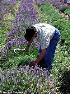 harvesting lavender in provence