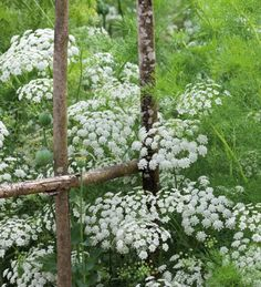 Ammi Majus (Bishop's flower) has lacy, white flowers, like a more delicate form of cow parsley. Ammi Majus is the best white filler-foliage plant you can grow and spectacular arranged in a great cloud on its own. Cut Flowers, White Flowers, Lace Flowers, Summer Flowers, Beautiful Gardens, Beautiful Flowers, Beautiful Pictures, Cow Parsley, Moon Garden