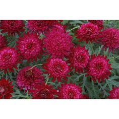 150mm Argyranthemum Bonmadmerlo Madeira Daisy Double Red Garden Jewel Range