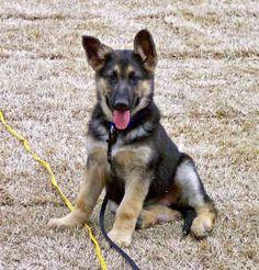 Ever wonder what a german shepherd lab mix would look like? Well meet Duke, the German Shepherd Lab mix! Very interesting looking dog.... FULL ARTICLE @ http://www.ilovegermanshepherds.com/german-shepherd-lab-mix/