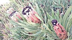 """Protea Neriifolia (""""Swartbaardprotea"""") This beautiful shrub can grow up to 3 meters high and can be found over a wide area in the Cape. The pink colouring on the flower can vary from region to region and the flower has a black or dark purple beard. Chalk Paint Colors, Colour Inspiration, Dark Purple, Colouring, Shrubs, Cape, Flowers, Plants, Pink"""