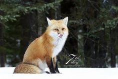 Pink tongue   Pink tongue - Wild red fox in Ontario, Canada   Chris MacDonald   Flickr