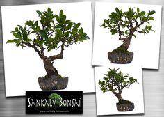 Un superbe petit Shohin Ficus Retusa de 24 cm en poterie unique et signée de l'Artiste Potier Français Philippe Torcatis. Ce Bonsai est disponible à la vente en ligne chez www.sankaly-bonsai.com à partir d'aujourd'hui  http://www.sankaly-bonsai.com/achat-vente-acheter-bonsai-interieur-sankaly-bonsai/3196-vente-de-bonsai-ficus-retusa-24-cm-poterie-artiste-unique-torcatis-sankaly-bonsai-141001pt.html